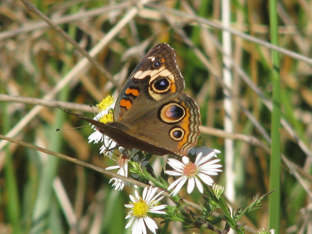 Common Buckeye with large eye spots designed to confuse predators.