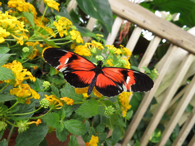 butterfly basics do butterflies mate with other species of