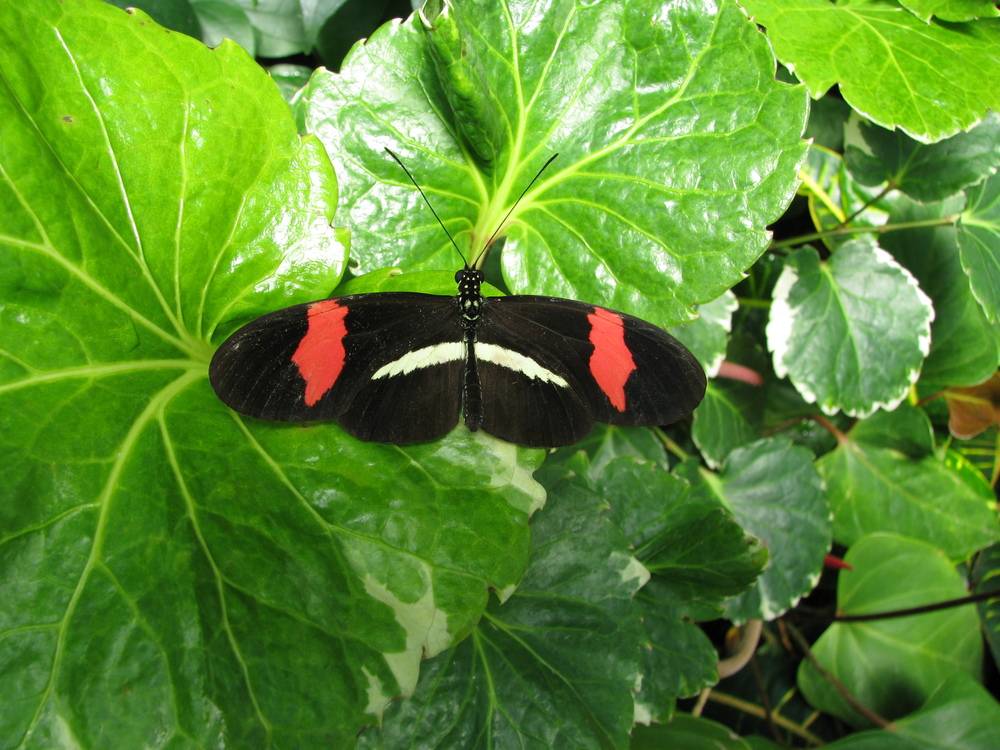 Typical Small Postman ( Heliconius erato ).