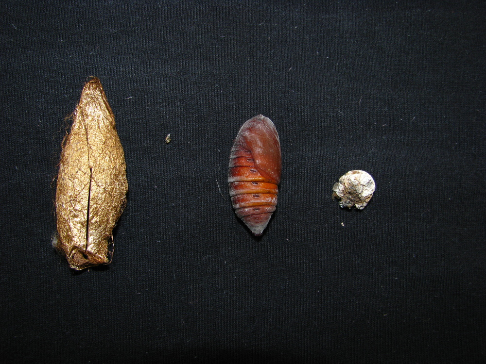 Moth cocoon, pupa that was within, and final skin shed of caterpillar that was inside cocoon.