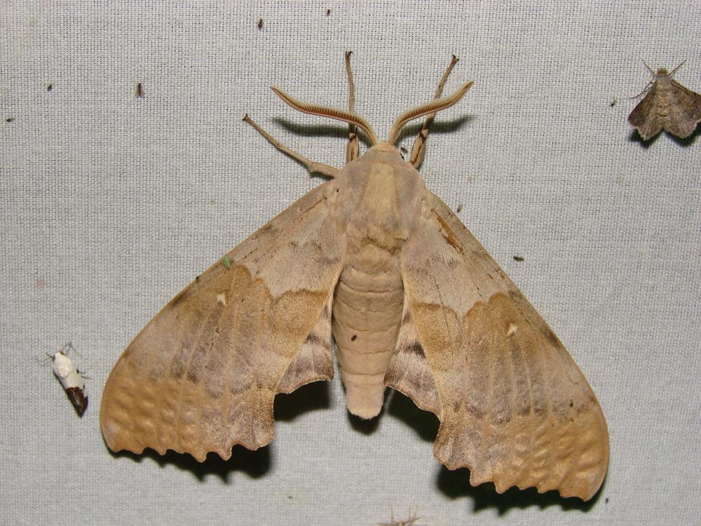 "Big Poplar Sphinx moth displaying ""normal"" resting position."