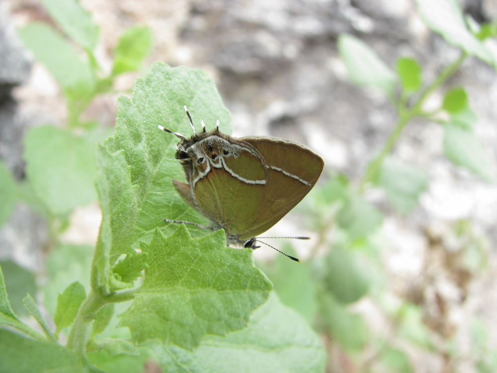 Xami Hairstreak, Boyce Thompson Arboretum, Superior, AZ