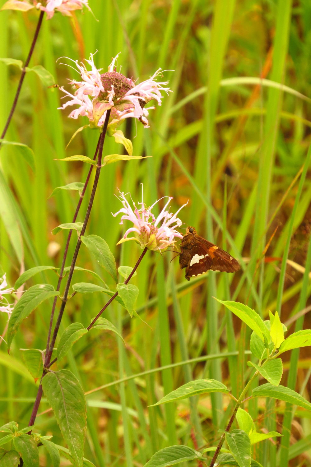 Silver-spotted Skipper -