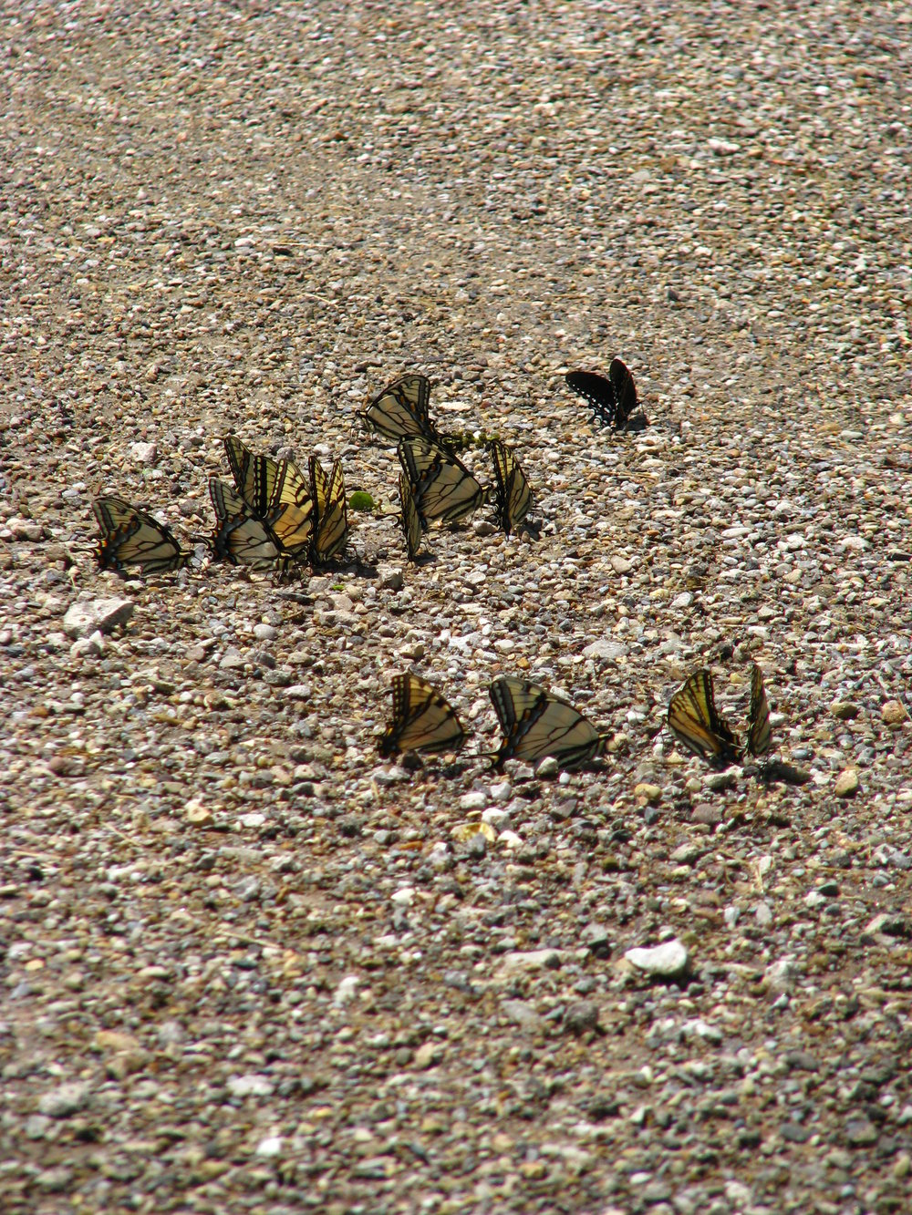 Swallowtail puddle party