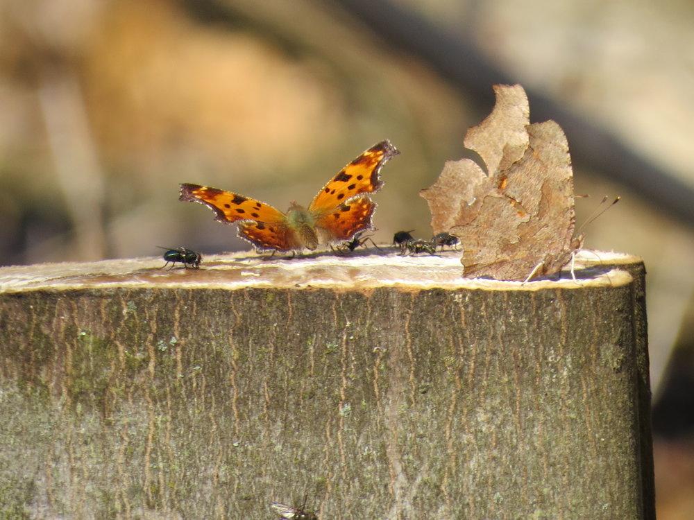 Eastern Commas on a fresh cut stump