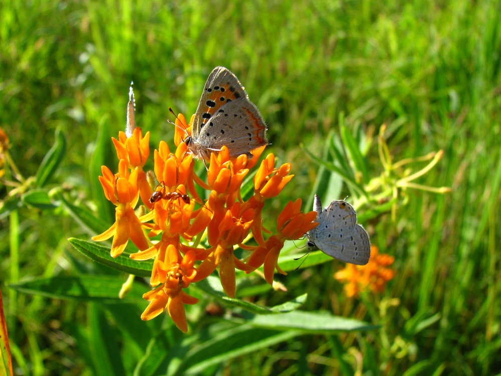 American Copper & Eastern Tailed-Blue