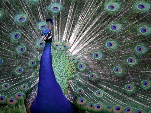 The feathers of the peacock make the most beautiful art.