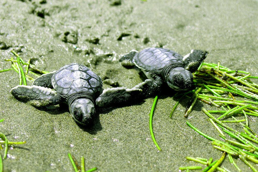 Rosalie Bay turtle1.jpg