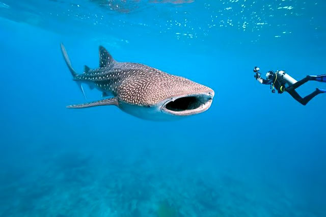 A_whaleshark-and-diver.jpg