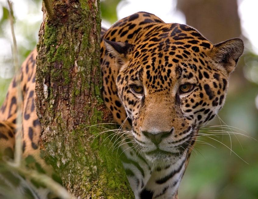 Belize Tiger Cropped.png