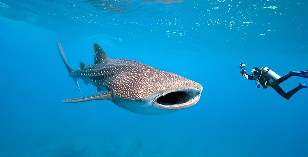 best-whale-shark-dive-sites.jpg