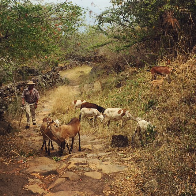 Goats! The local specialty of Guane