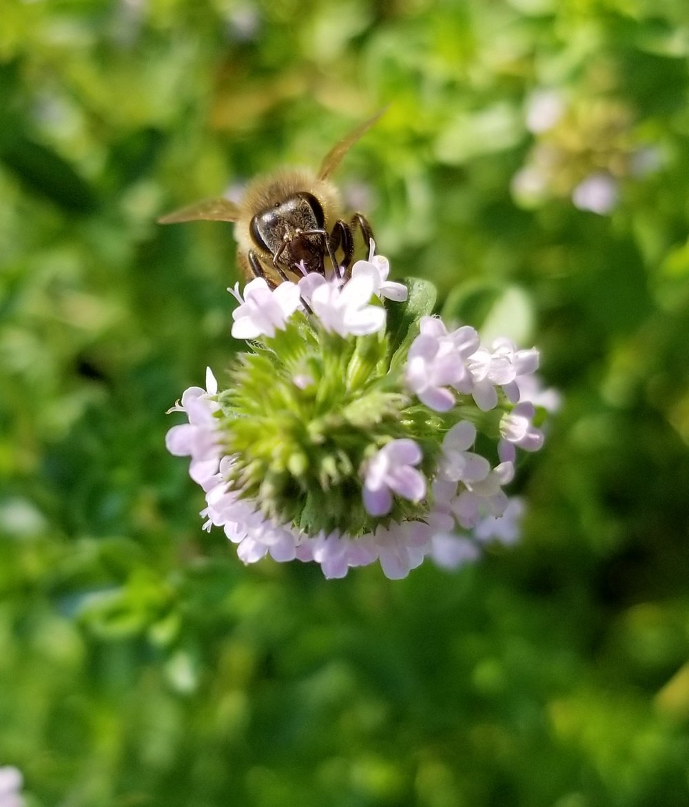 Honeybee enjoying the nectar of French Thyme.