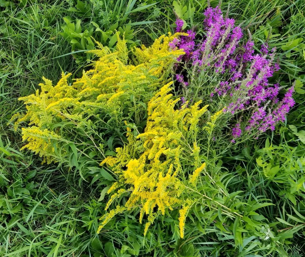 Wildcrafted Goldenrod and Loosestrife.