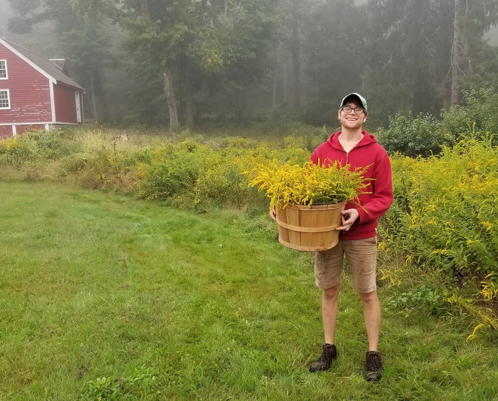 Matt with a bushel of wildcrafted September Goldenrod.
