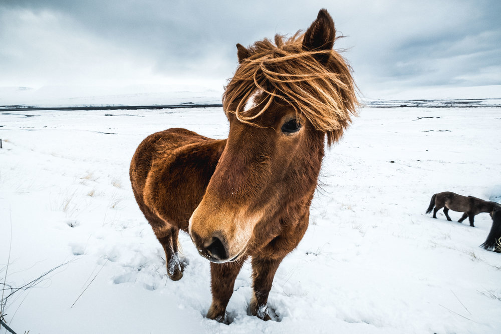 We managed to get up close and personal with a few of Iceland's majestic horses.
