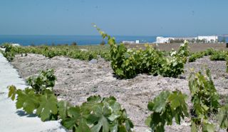 The famous Santorini Vineyards. Grapes grow very close to the ground here.