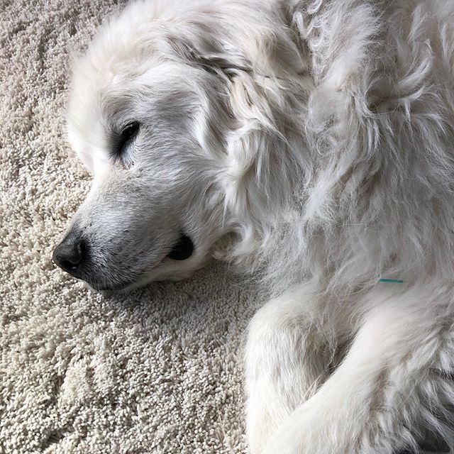 Can't say enough good things about Majestic Sir Boreas. Happy belated 12th to this special guy! ♥️👏🏼 🎉  #greatpyrenees #greatpyreneesoftheday #petacupuncture #petacupunctureworks #fluff #bigfluffydogs