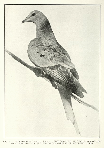 Martha: the passenger pigeon in life. Image source:   Published figures and plates of the extinct passenger pigeon , published 1921 (extracted from:  Scientific Monthly , v. 12, no. 5, May 1921), by Robert W. Shufeldt (Robert Wilson), 1850-1934, is licensed under  Public Domain Mark 1.0