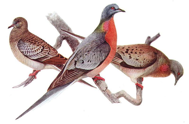 Passenger Pigeon, Ectopistes migratorius, juvenile (left), male (center), female (right), offset reproduction of watercolor. Image source:  Ectopistes migratoriusAAP042CA.jpg (derived from Birds of New York (New York State Museum. Memoir 12), Albany: University of the State of New York.) by Louis Agassiz Fuertes (1874–1927) is licensed under Public Domain Mark 1.0