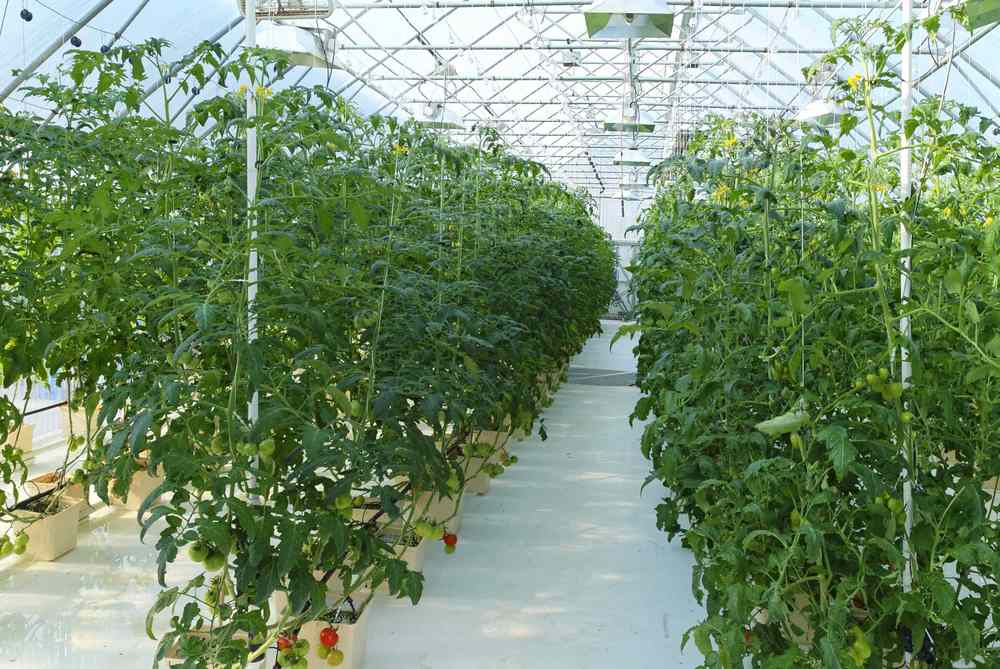 Tomatoes around the world: Tomatoes being grown near the Arctic Circle in greenhouse heated entirely with water from geothermal source,  Chena Hot Springs , 2011. Image source:  The Ohio Academy of Science