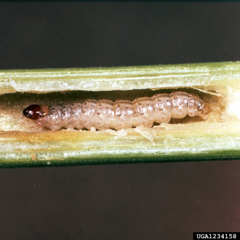 European corn borer (Ostrinia nubilalis) in corn. Image source:   Image Number: 1234158  by  Clemson University - USDA Cooperative Extension Slide Series, Bugwood.org  is licensed under  CC BY 3.0 US