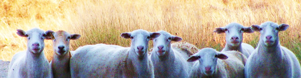 `Guard Sheep By: Eva Robinett 2009