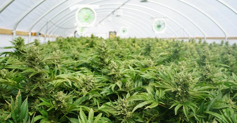 marijuana-TS-590158202_0.jpg