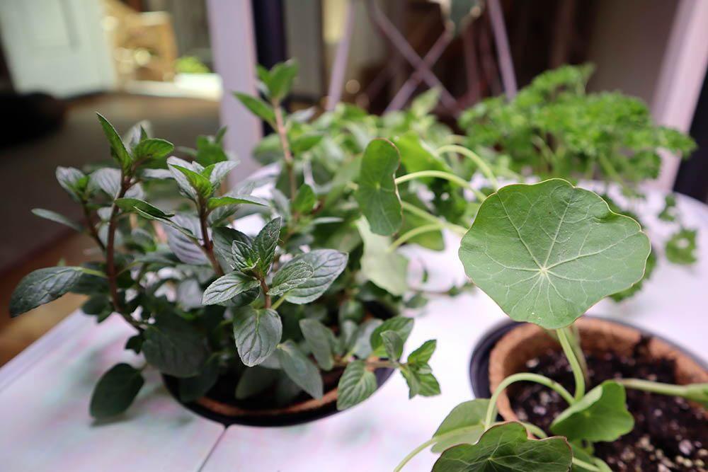 growing_edible_plants_indoors.jpg