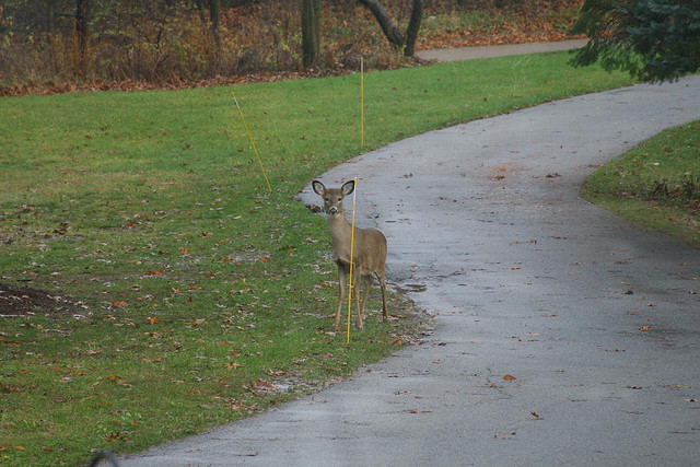 Deer on the driveway