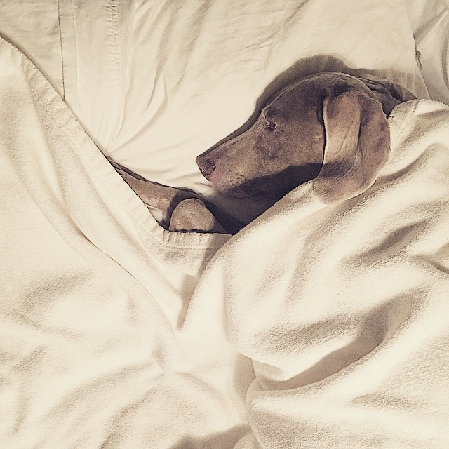 Gia refuses to sleep without her pillow and blanket! #Weimaraner #weimaraners #dogsofinstagram #weim #weimaranersofinstagram #dog