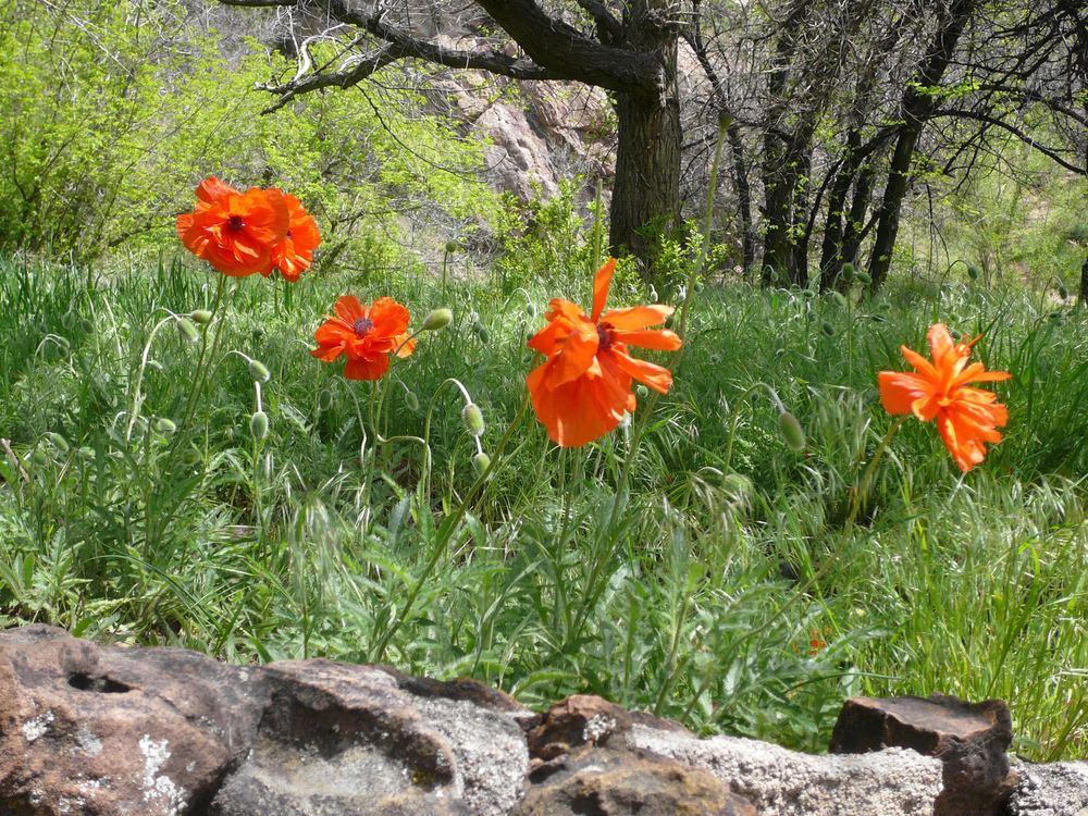 Boulder Poppies.jpg