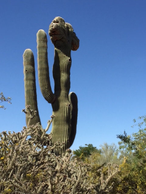 %22Camelhead%22 cactus.jpg