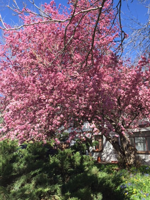 Hawthorne Tree at height of pink blossoms.