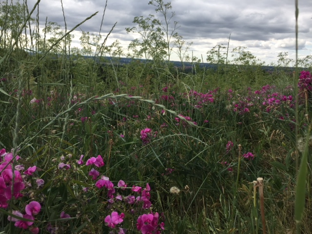 Sweet pea meadow.