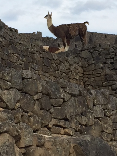 Natural groundskeepers (llama) at Machu Picchu.