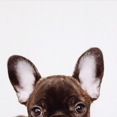 frenchie hide and seek