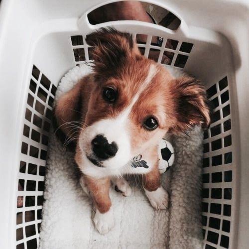 laundry pup