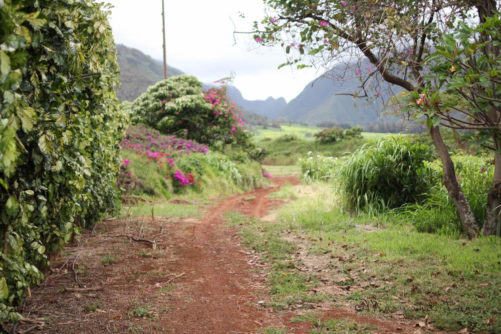 more maui plantation
