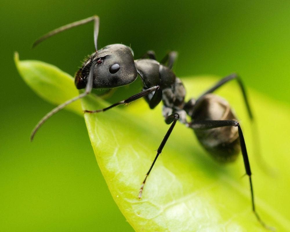black-ant.jpg