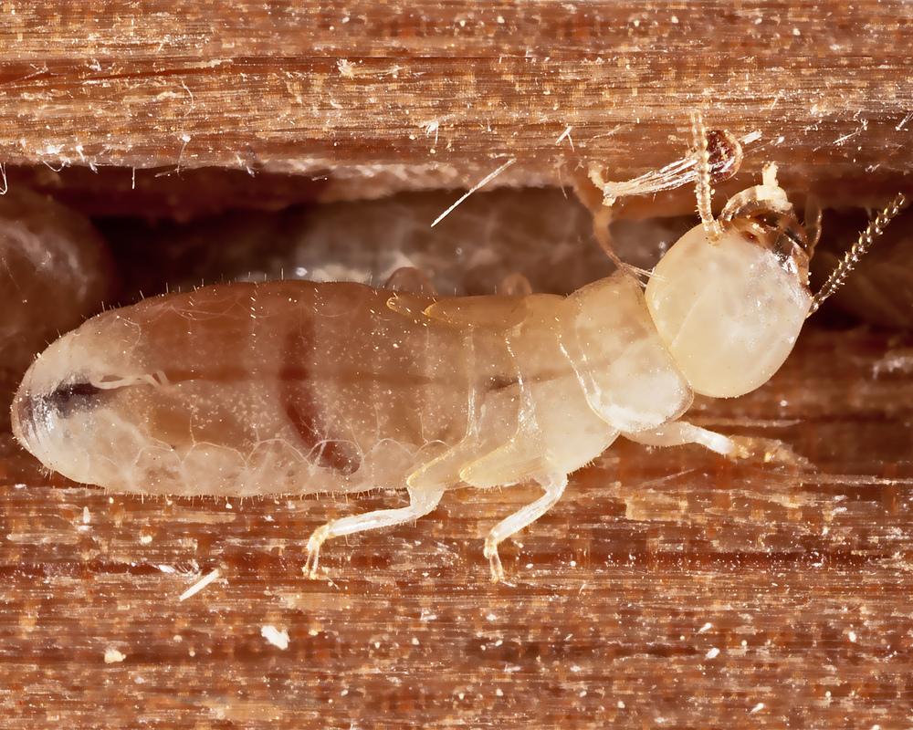 Drywood_Termite.jpg