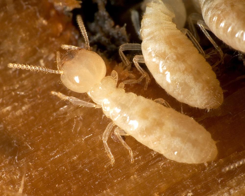 Subterranean_Termite.jpg