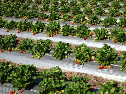 strawberries-6-440x330.jpg