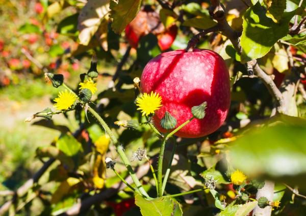 suttons apple farm