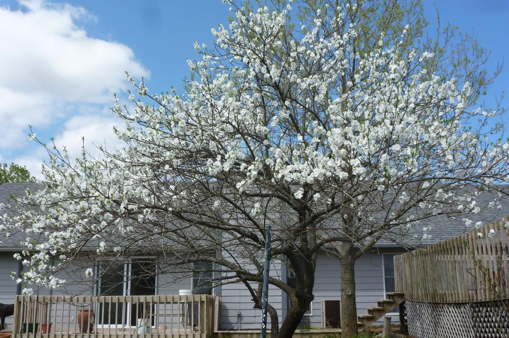 peach tree blooms