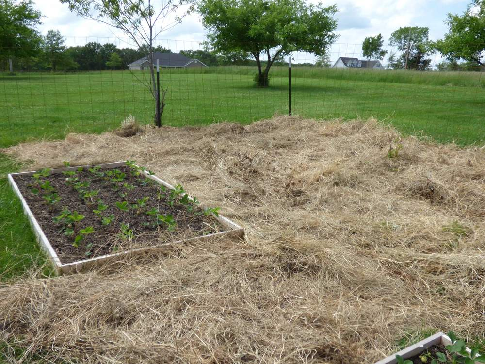 Hay mulch 8-10 inches thick around the beds.  Raspberry plants sticking up out of hay too!