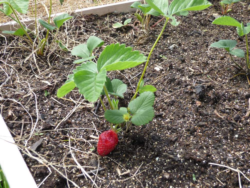 Finished Project Strawberry Plants In Square Foot Gardens Day To Day Adventures
