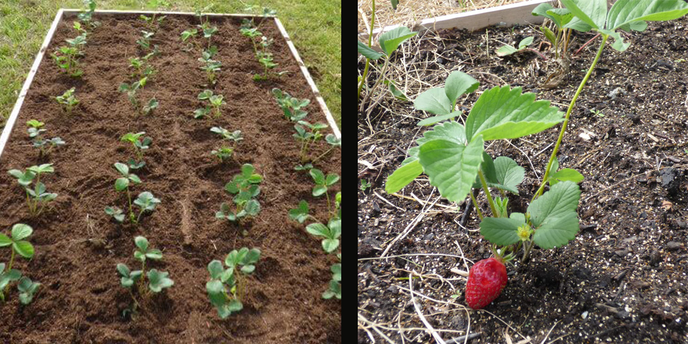 How To Handle Spring Strawberry Bed Cleanup Day To Day Adventures