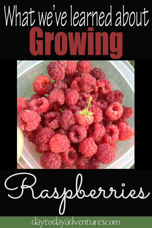 What we have learned in 3 years about how to grow raspberries - DaytoDayAdventures.com