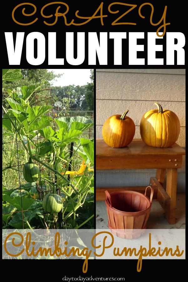 Our crazy volunteer climbing pumpkins - DaytoDayAdventures.com
